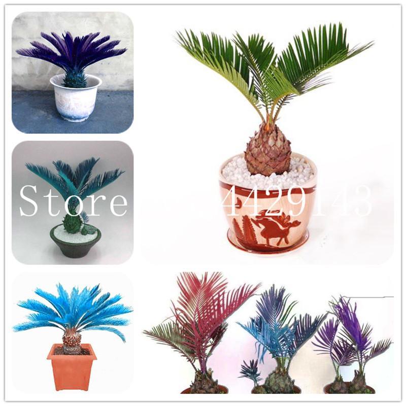 Blue Cycas Seeds Bonsai Sago Palm Tree Plant Cycad Rare Plants Garden 10 Pcs