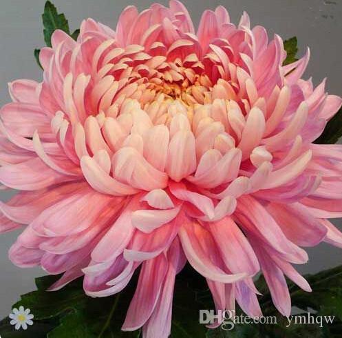Büyük indirim! 200 Adet Roman Gökkuşağı Kasımpatı Çiçek, krizantem çok yıllık bonsai çiçek papatya saksı bitki bahçe dekorasyon için