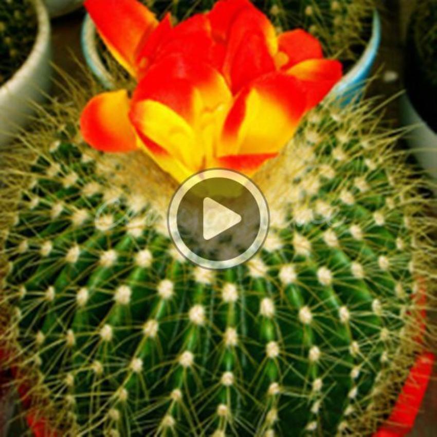 Nuovo arrivo 10pcs / lot cactus misto Ecinopsis tutti Cactus perenne piante grasse i mini ordine pianta grassa piantare $ 18no pista