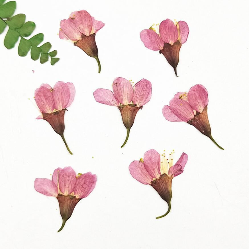 60 pcs 2-3cm Pressionado Flores de cerejeira secas Sakura Plantas de flores herbário para jóias de resina epóxi fazendo face maquiagem Nail Art DIY F1217