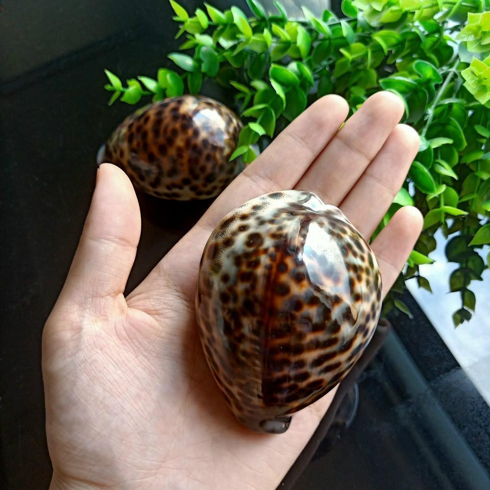 1pc Tabby Shell Nautical Decor Seashells Specimen Natural Shell Conch Collectibles Ornaments Micro Aquarium Landscape 60 80mm H jllnlq