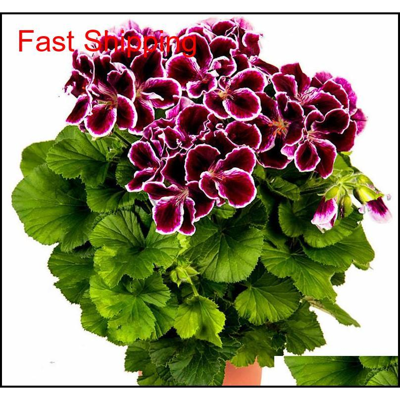 Real Import Geranium Seeds Perennial Bonsai Flower Pelargonium Plants Potted For Garden Deco jllHEm yy_dhhome