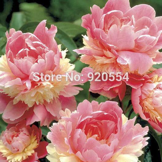 10шт/много редкие фамильные сорбет прочная красочные двойной цветет пион дерево семена бонсай растение домашний сад бесплатная доставка Р1
