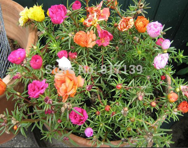 New 500 Graines Accueil Jardin Mixte Mexicain-rose Soleil Plante Portulaca Mousse Rose Portulaca Grandiflora Graines De Fleurs Livraison Gratuite