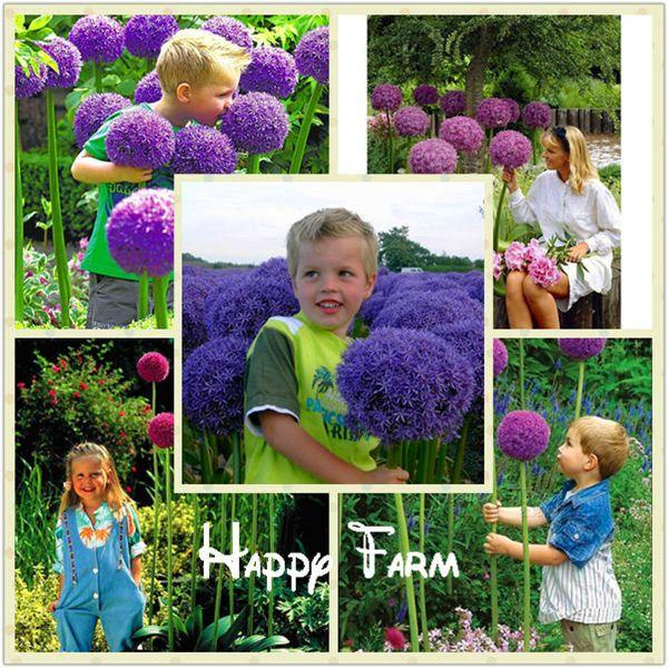 Graines d'Allium Giganteum, graines en pot, graines de fleurs rares, variété complète, le taux de bourgeonnement 95%, (Couleurs mélangées) - 100 graines / sachet