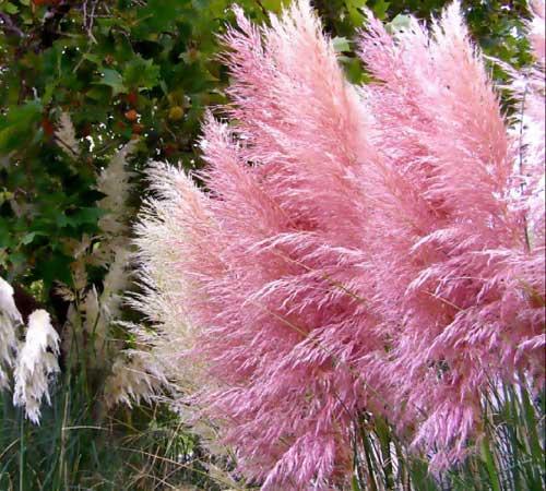 rosa pampasgras