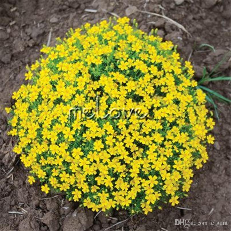 Fiori Gialli Balcone.Acquista 100 Semi Gialli Francese Marigold Tagetes Patula Fiore