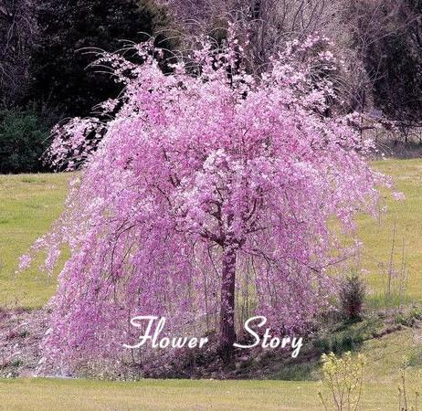 2020 20 Pink Fountain Weeping Cherry Tree Seeds Diy Home