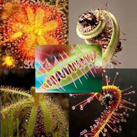 Mix Carnivore Fleischfressende Pack - 5 Arten - 45 Samen - Venus Fliegenfalle Sundews Bulk Seed Pack 5 Verties Bonsai Blumensamen