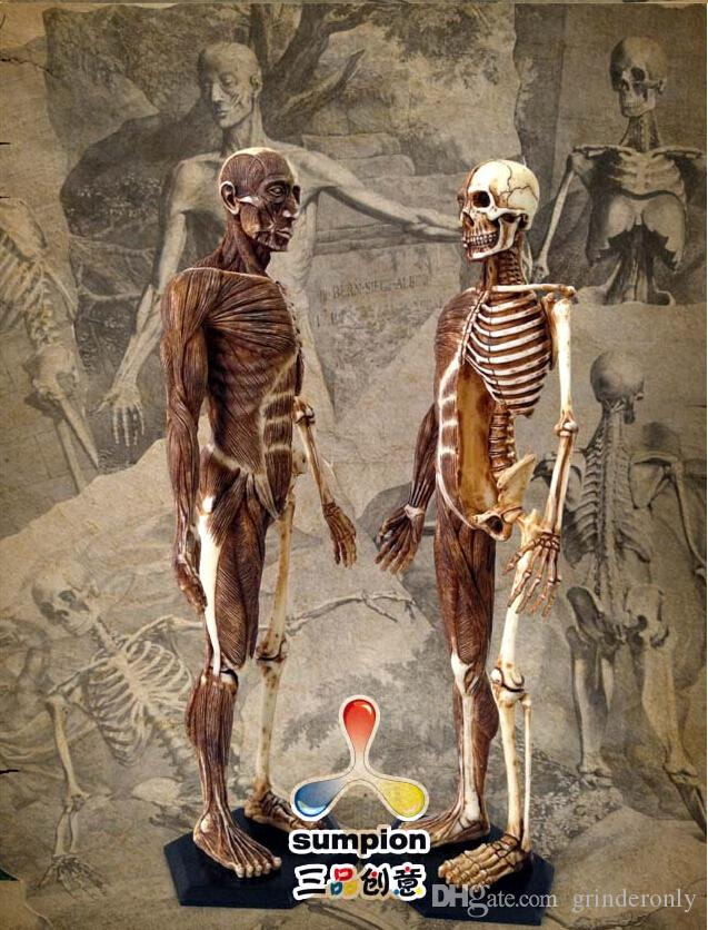 Human Anatomy Skeleton Anatomical Model For Sale Skull19cm Height Pu ...