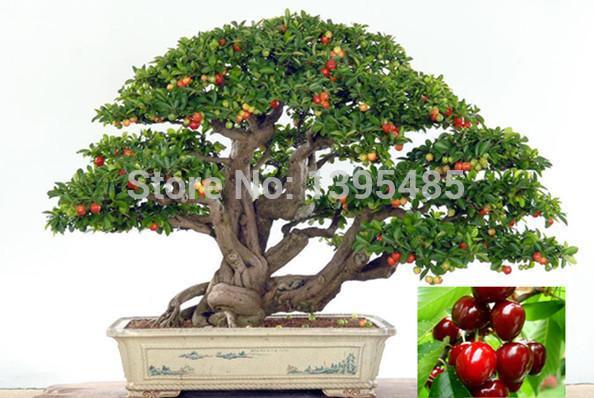 11.11 promozione oggi Piante da appartamento di lusso, bisogno di frutta in vaso, Taiwan Mini semi di ciliegio perlato 20 semi di semi di albero bonsai