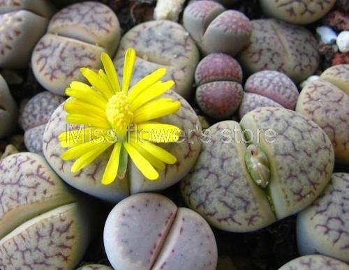 100 Rare Mix Lithops Graines Living Stones Succulentes Cactus Graines Organiques De Jardin En Vrac S016