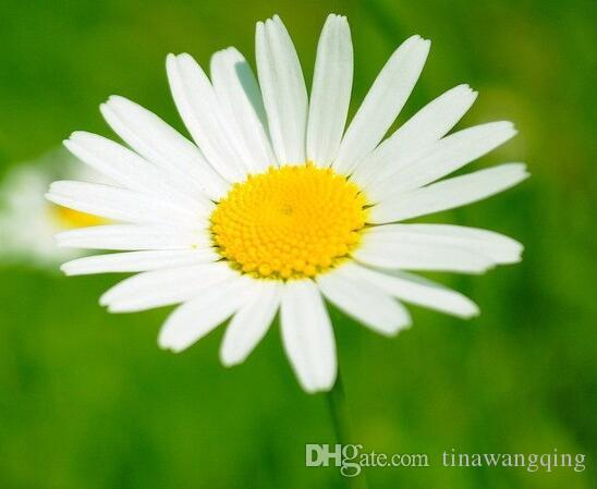 i want to germinate, flower seeds, white daisy seeds, daisy, Beautiful flower
