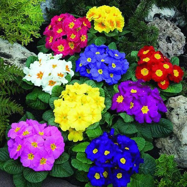 Примулы, семена цветов, цветная упаковка семян - около 50 частиц