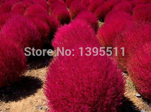 Graines de gazon vivaces 300pcs Brûlant de l'herbe Kochia Scoparia graines Red Garden ornamental facile