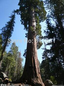 big promotion 20 Giant Sequoia Seeds , Sequoia bonsai ,rare ,fast growing, variety complete the budding rate 95% free shipping
