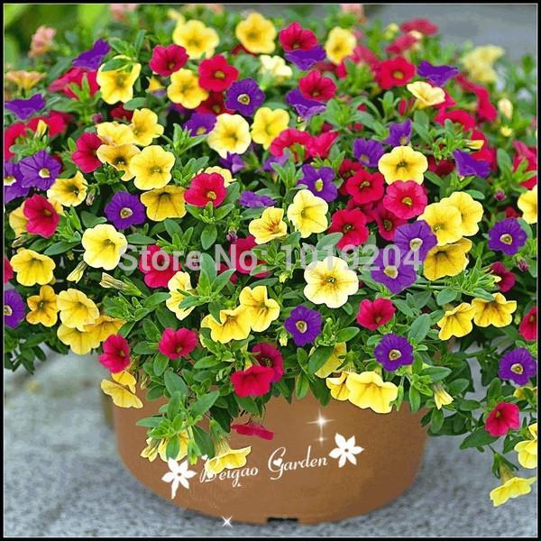 Las plantas con flores semillas de la petunia shuttlecock cuerno flor batata bonsai Petunia flores semillas - 100 piezas