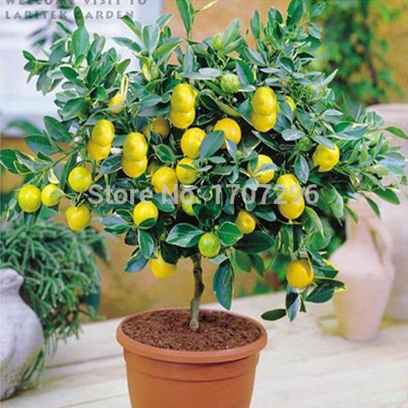 بذور شجرة الليمون ارتفاع معدل البقاء بذور الفاكهة للمنزل Gatden شرفة بونساي - 5 قطع / الكثير