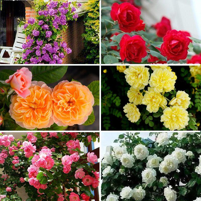Nouveau Belle Romantique 6 Variété Couleur Escalade Rose Graines Rosa Vivaces Fleurs Parfumées Maison Jardin