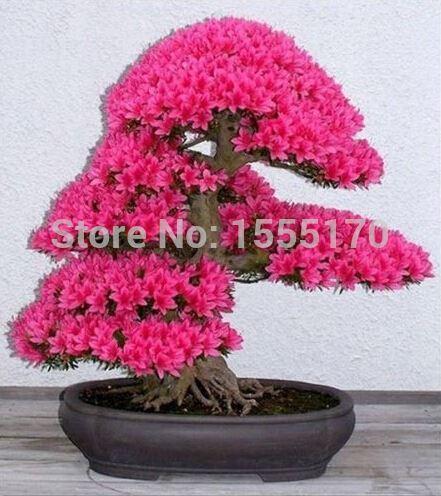 Bonsai Tree japanese sakura seeds 20 pcs ,bonsai flower Cherry Blossoms free shipping