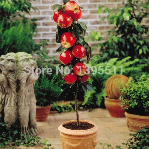 100 pcs Bonsai Apple Tree Seeds rare fruit bonsai tree-- America red delicious apple seeds garden for flower pot planters