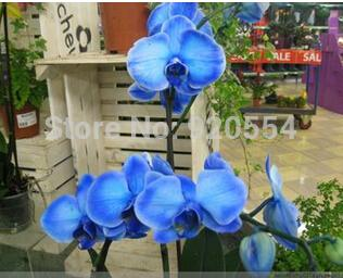 Orchidea rara! 10 pz Bonsai Balcone Fiore Orchidea Lepidottero Orchidea Semi Cielo Blu Giardino Domestico di DIY Spedizione Gratuita