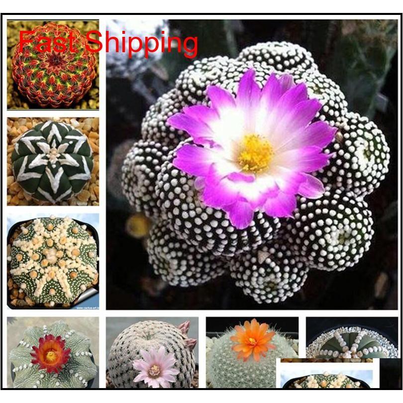 Autres fournitures 100 pcs Cactus exotiques Japonais Japonais Succulents Fleur Semement Semings Bonsaï Plantes Intérieur Plantes Fleurs Perennial Garden RYZ8 R27PL