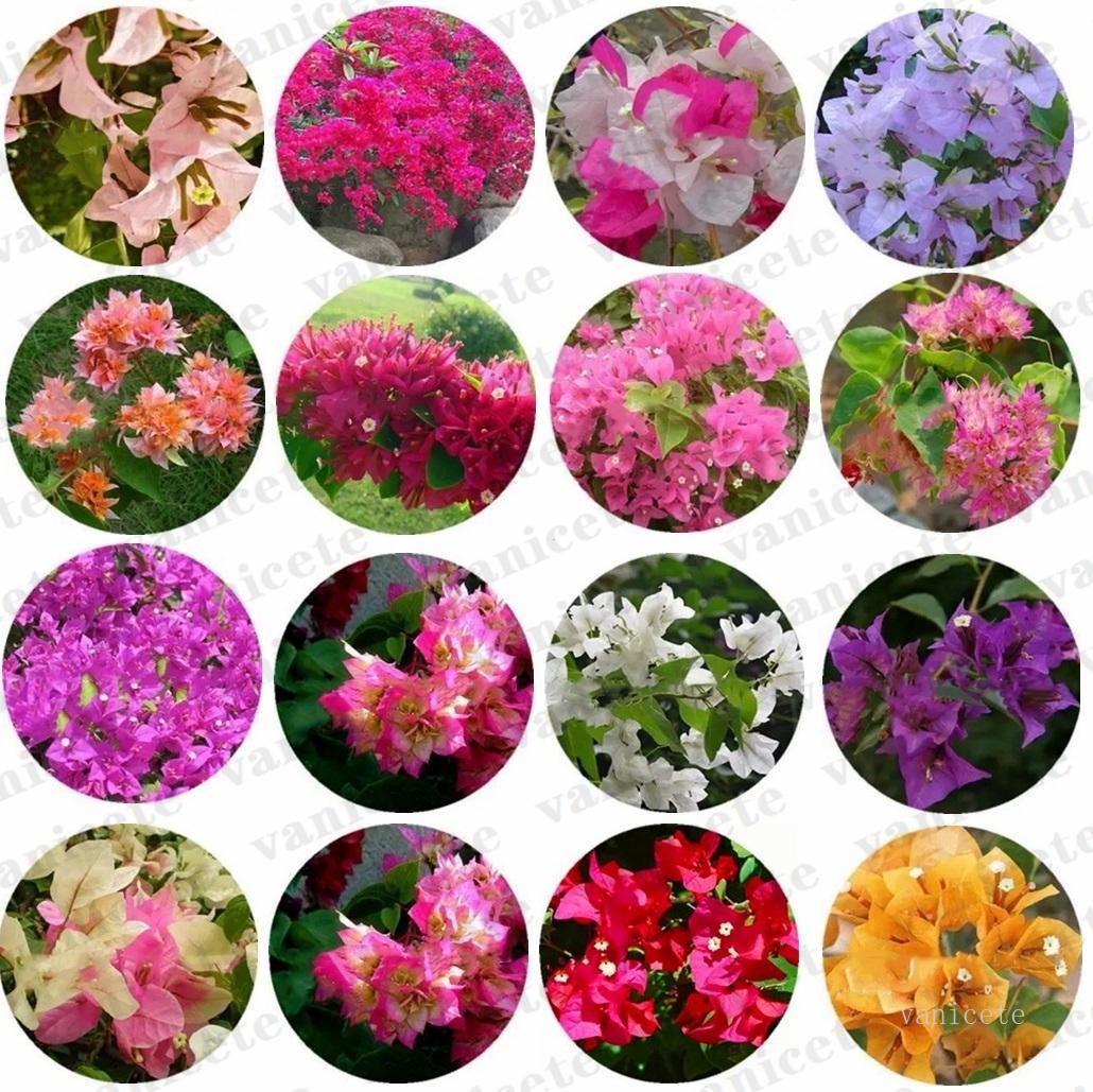 100 pz / sacchetto misto bougainvilleas semi semi rifornimenti giardino perenne fiore colorato bougainvillea spettabilis wild seeds giardini bonsai pentola piante ZC167