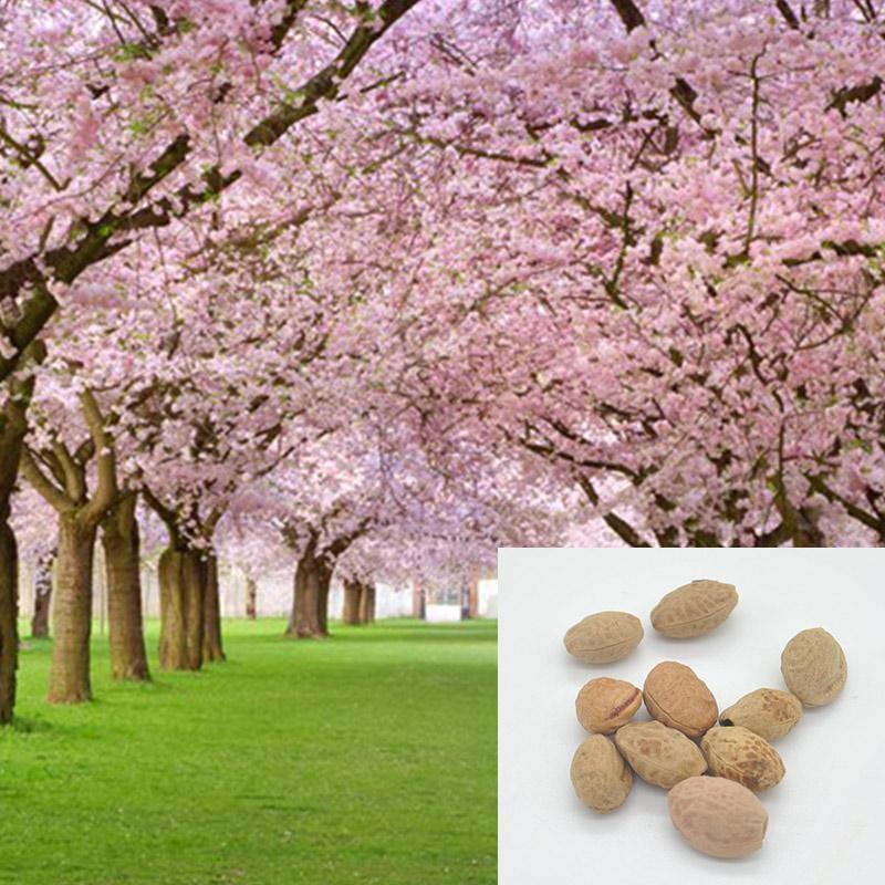 2015 yeni varış Ağacı japon sakura tohumları 10 adet, bonsai çiçek Kiraz Çiçekleri ücretsiz kargo ls * JJ0158