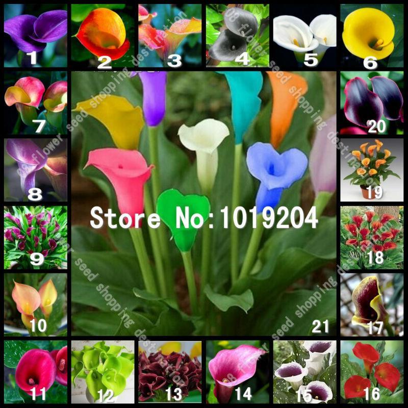 2020 Bonsai Seeds 20 Varieties Of Calla Lily Seeds Big Bag Of