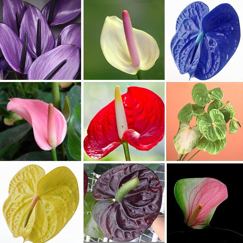 100 / كيس بذور زهرة نادرة anthurium andraeanu شرفة بوعاء النباتات انتوريوم بذور زهرة ل diy الرئيسية حديقة