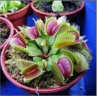 HEIßER Verkauf 10 STÜCKE Topf Insektenfressende Pflanzensamen Dionaea Muscipula Riesen Clip Venusfliegenfalle Samen