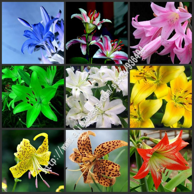 2020 Flower Seeds Lily Seed 25 Varieties Bonsai French Perfume