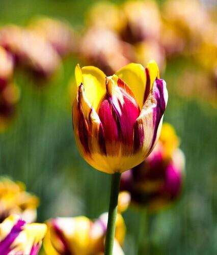 Балкон бонсай. 2PC блестящие желтые фиолетовые луковицы тюльпанов - не семена тюльпанов. Красивое растение