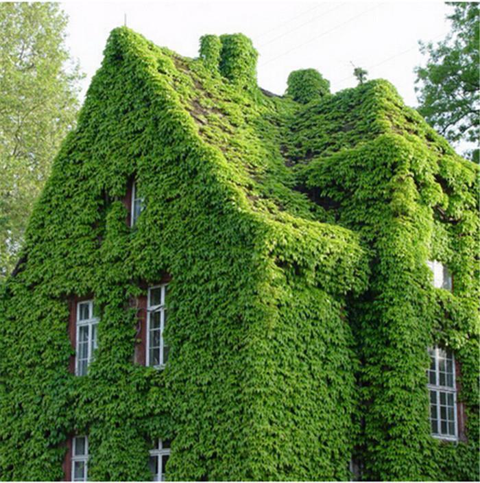100 шт. / упак. зеленый Бостон плющ семена плющ семена для DIY Главная сад открытый растения семена Drop Доставка Бесплатная доставка