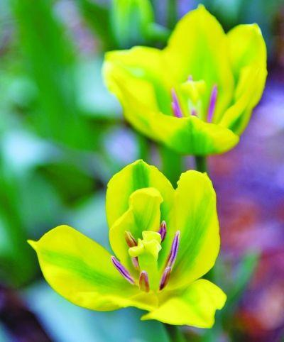 Цветочные растения. 2PC редкие зеленые луковицы тюльпанов-бонсай (не семена тюльпанов)