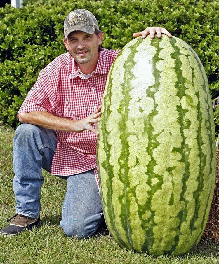 Пакет 50 шт. гигантские семена арбуза семена фруктов посадка семена арбуза без ГМО съедобные фрукты