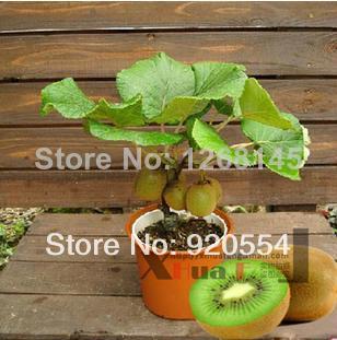 Bon marché Bonsaï Vente chaude 100 graines / sac Le roi des fruits graines Kiwi graines de semences bonsaï jardin