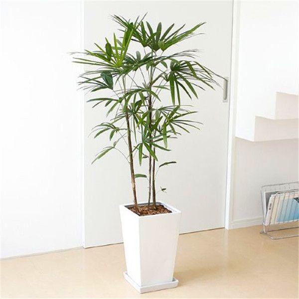 30pcs bonsai palma semi di bambù semi di piante cinesi giardino domestico fai da te S004