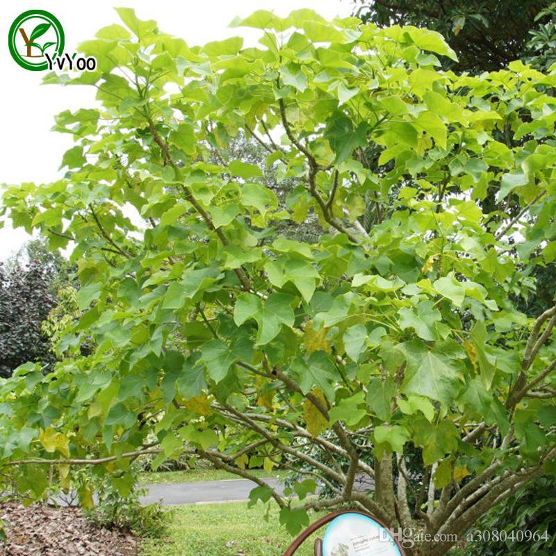 Jatropha curcas Samen Baum Topf Bonsai Hof Hausgarten Bonsai Pflanze 10 stücke Y01