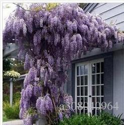 30 seeds/pack hot selling Purple Wisteria Flower Seeds for DIY home garden