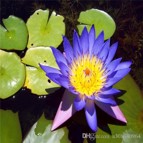 Lotus samen Blau seerosen / wasserspiele / teiche pflanzen garten dekoration anlage 10 stücke A005