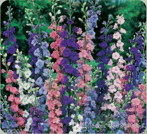 Delphinium 씨앗 Larkspur 씨앗 - 믹스, 많은 종류의 색깔 정원 장식 공장 50pcs p100