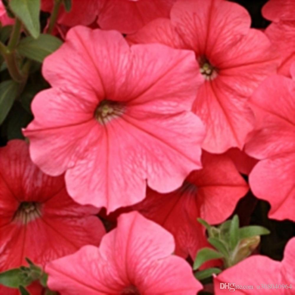 Flower Seeds Petunia Lavina Lososevaya F1 (Petunia x hybrida) Annual Flowers 200pcs S030