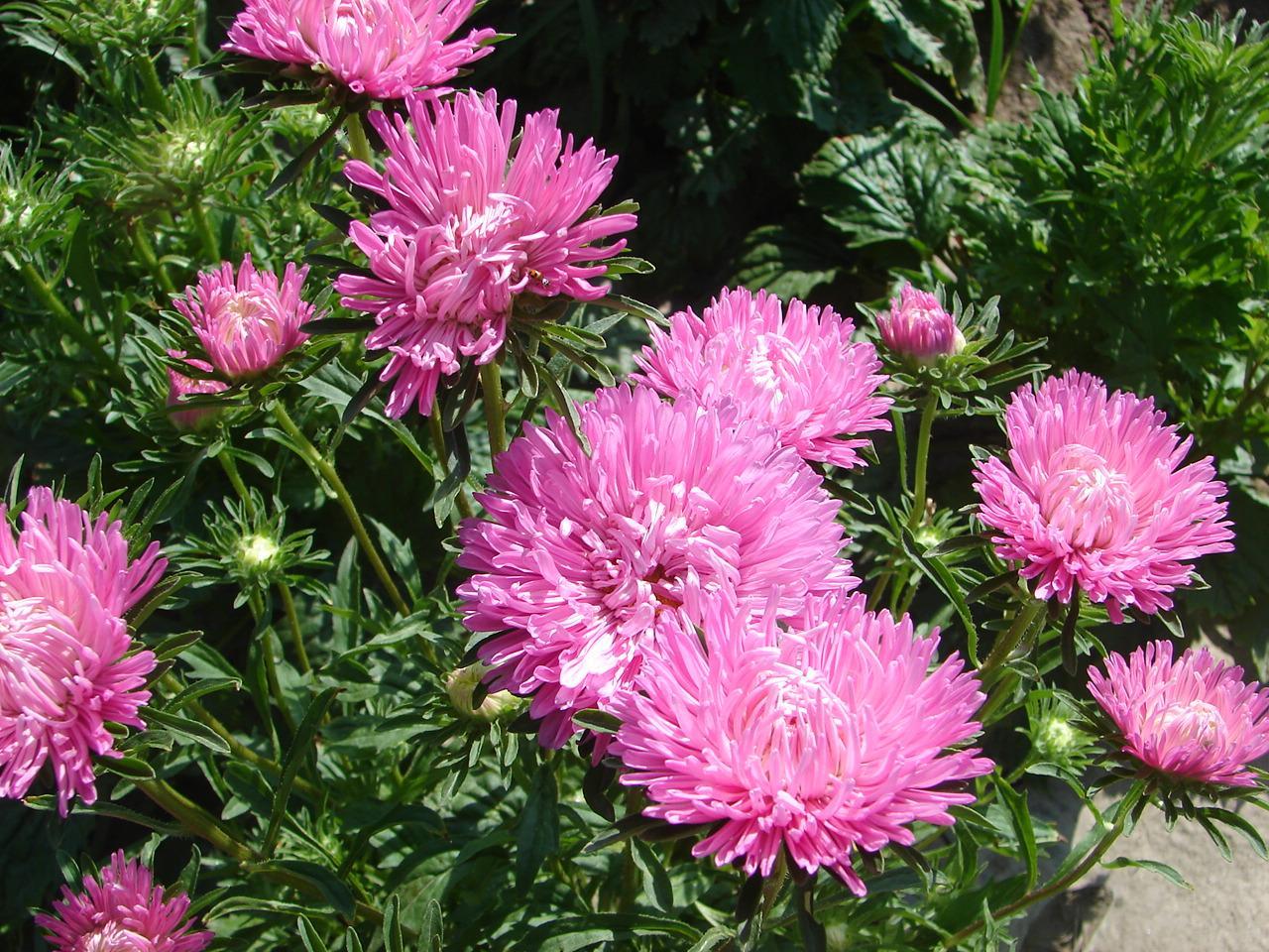 Coltivare Fiori Da Recidere acquista 200 semi di fiori rosa chinse aster facile da coltivare varietà di  fiori da taglio fai da te casa giardino fiore a 4,43 € dal melove |