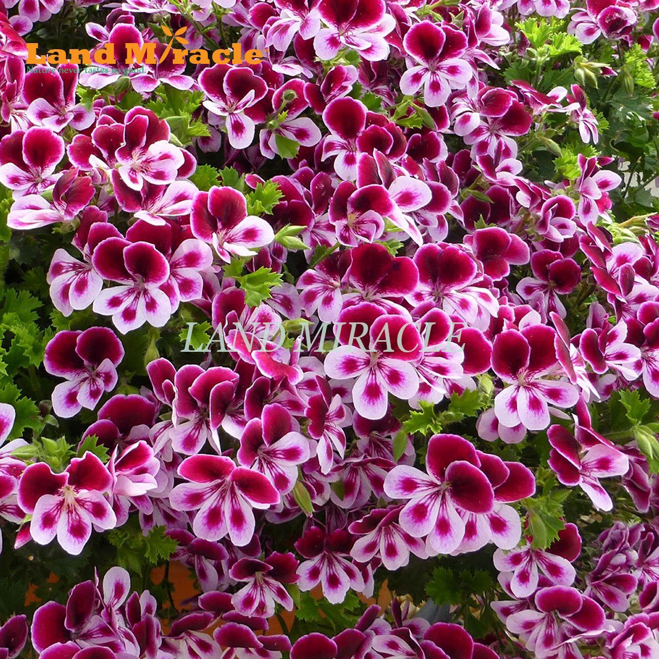 Fiori Da Vaso Perenni acquista semi di geranio misto raro bicolore, 5 semi, pelargonium pianta  perenne in vaso fiori giardino interno / esterno a 3,59 € dal landmiracle |