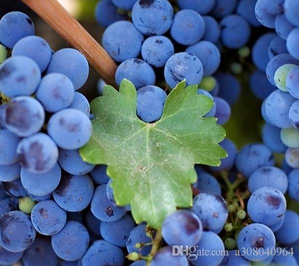 분재 공장 과일 씨앗 블루 베리 나무 씨앗 정원 과일 씨앗 50 PC