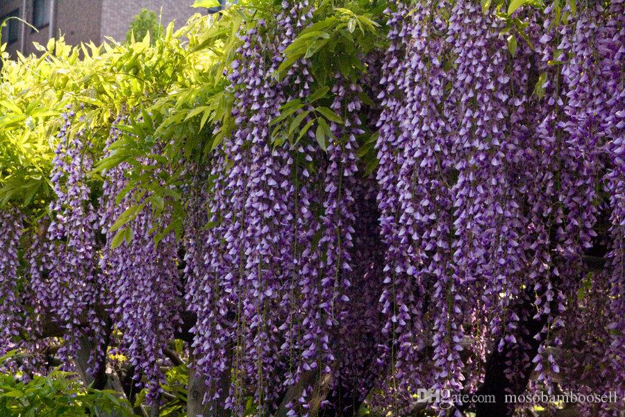 2020 Wholesale Blue Chinese Wisteria Vine Flower Seeds Tree