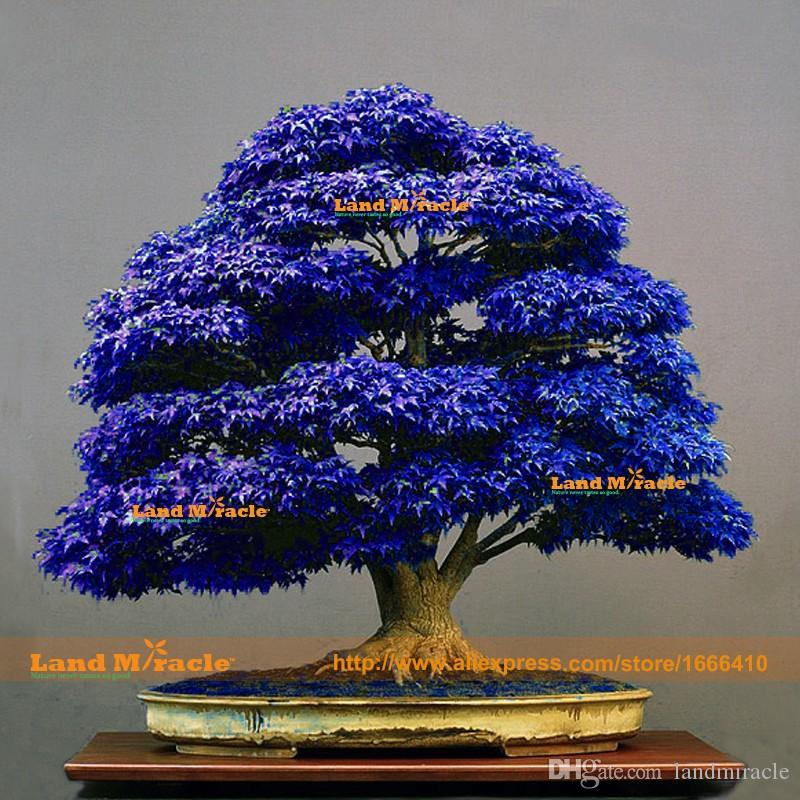 Blue Bonsai Tree Real Or Fake Bonsai Tree