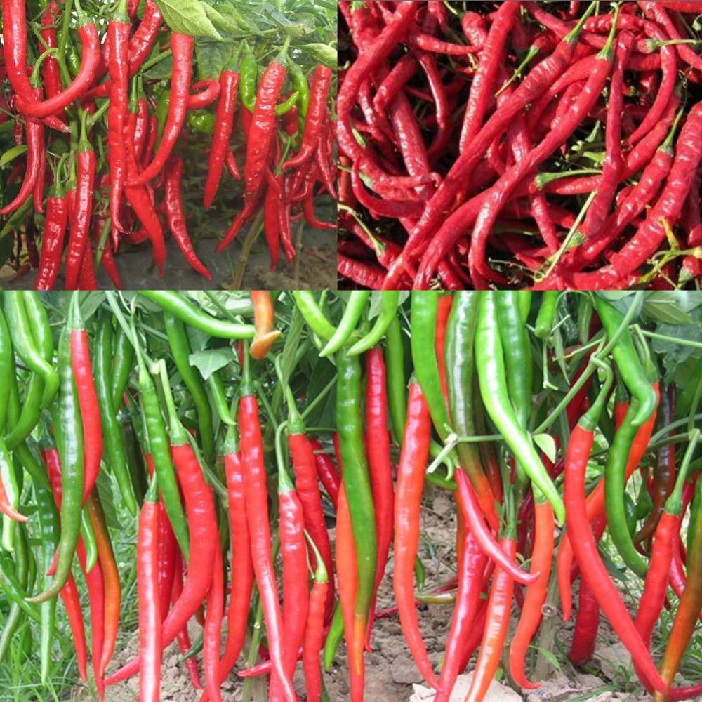 """Giant spezie piccanti peperoncino rosso peperoncino semi di peperoncino 100 """"Garden rifornimenti interessi FAI DA TE semi di verdure f061"""